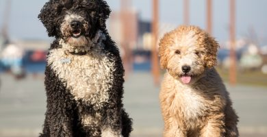 Spanish Water Dogs