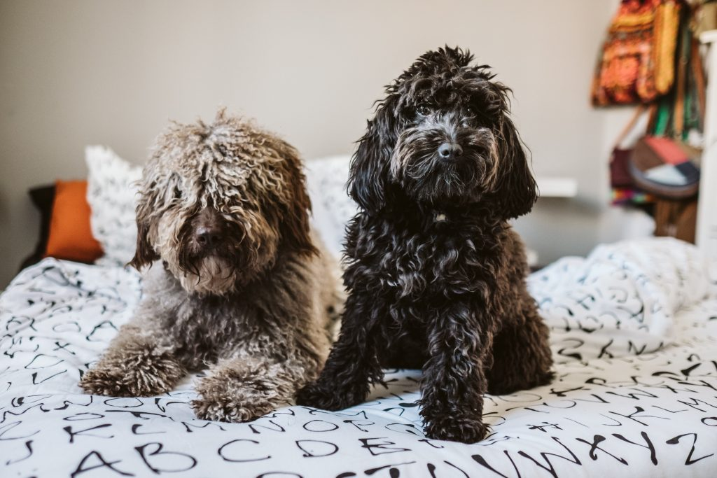 Sweet black small poodle and brown spanish water dog, sitting on top of the bed playing with each other showing funny faces. Lifestyle photography.